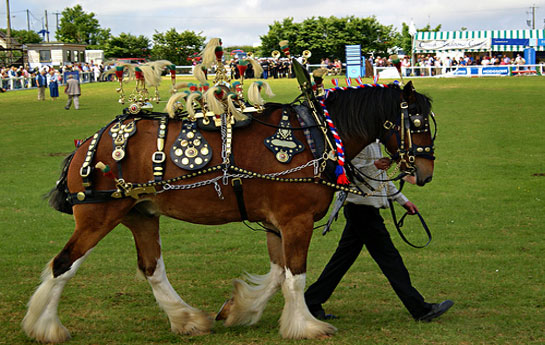 Shire horse @ The Royal Cornwall show