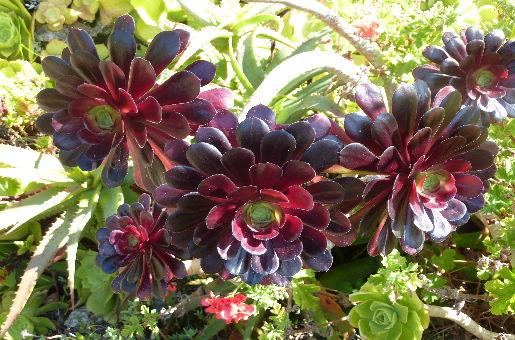 Subtropische Pflanzen Scilly-Inseln