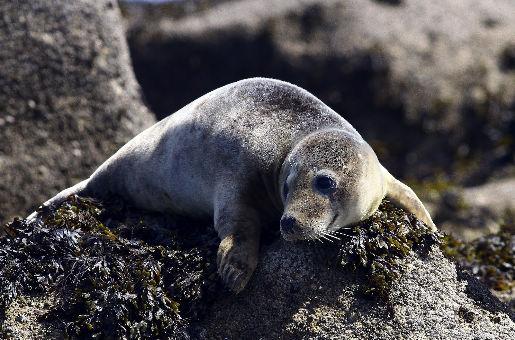 Kegelrobben Scilly-Inseln