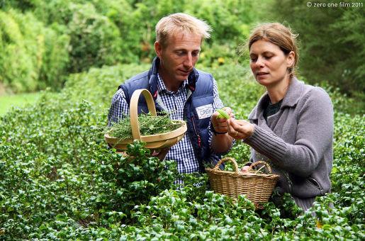 die einzige Teeplantage Großbritanniens