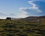 Bodmin-Moor-horses (Custom)