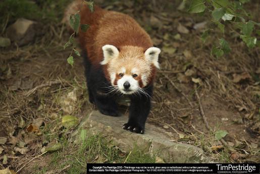 Roten Pandas  Newquay Zoo