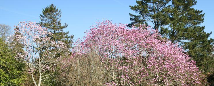 Magnolia campbellii cornwall