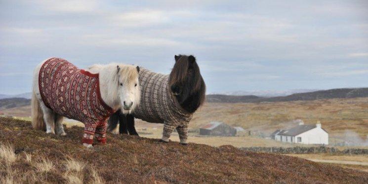 shetland-pferde